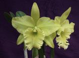 Duh's Wisdom 'Green Star' (C. digbyana x Rlc. Golden Regal) AM/AOS