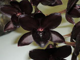 Catasetum Fredclarkeara After Dark 'Black Pearl'