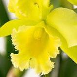 """Cattleya Brasso Laelio Cattleya Port of Paradise """"Bari Sunshine"""" sans fleurs actuellement"""