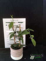 Vanille, (Vanilla planifolia)