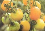 Gelbe von Thun (ProSpecieRara)