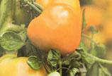 Orange à gros fruits (ProSpecieRara)