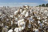 Clean Cotton Type