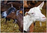 CP05_ste_maure : Portraits de chèvres