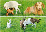CP04_ste_maure : Chèvres en paturage
