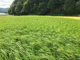 合鴨農法、無肥料無農薬 コシヒカリ 1kg