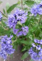 'Blue Cloud 'Bartblume, Caryopteris clandonensis