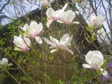 Engel Blüte - Weiße Sternmagnolien Räucher Blüten Rarität! zum Verzehr!