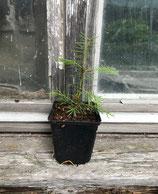 Sierra-Tanne (Abies concolor lowiana)