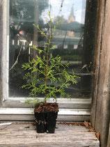 Weiße Scheinzypresse (Chamaecyparis thyoides)