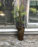 Graue Douglasie (Pseudotsuga menziesii glauca var. caesia) ohne Herkunft! geeignet für nicht forstliche Zwecke!