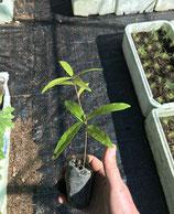 Weidenblättrige Eiche (Quercus phellos)