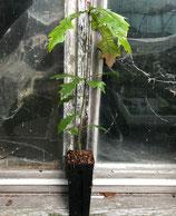 Leierblättrige Eiche (Quercus lyrata)