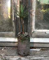 Jeffreys Kiefer (Pinus jeffrey)