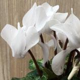 ガーデンシクラメン ホワイト