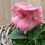 八重咲きパンジー ファビラス pink系