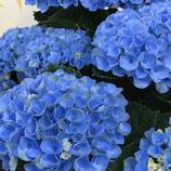 マザーハイドランジア ブルー系