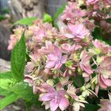 紫陽花 マルルー