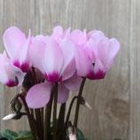ガーデンシクラメン ライトピンク