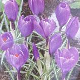 クロッカス 紫