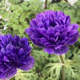 八重咲アネモネ オーロラ ブルー
