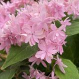 山紫陽花 マルルー ピンク