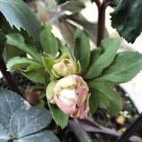 氷の薔薇 ピンク