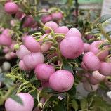 ペルネッチア(真珠の木) *ローズピンク