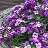 アリッサム ストリームシリーズ 紫
