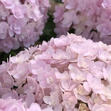マザーハイドランジア ピンク系