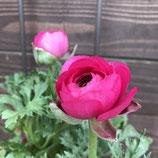 春のおたよりラナンキュラス ピンク系