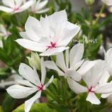 八重咲きニチニチソウ ソワレ ホワイト