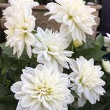 ダリア *ホワイトベール