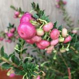 ペルネッチア(真珠の木) ローズピンク