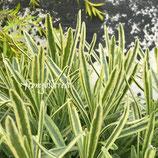 斑入りラベンダー プラチナブランド