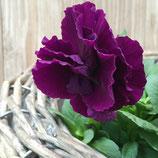 八重咲きパンジー ファビラス Purple系