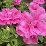 八重咲きVIVAペチュニア *エレガンス