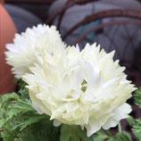 八重咲アネモネ オーロラ ホワイト