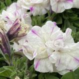 八重咲きVIVAペチュニア *ミルキーピンク
