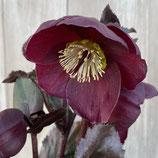 ヘレボレス 氷の薔薇 バローロ