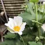 秋明菊 *ホワイトグローブ