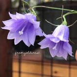 山野草 八重咲きイワシャジン 紫