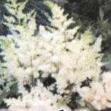 アスチルベ *コットンホワイト