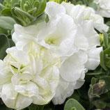 八重咲きVIVAペチュニア *ロマンス