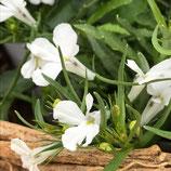 栄養系ロベリア カルホォルニア ホワイト