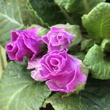 プレミアムバラ咲きジュリアン ブルーベリーのムース