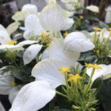 崑崙花(コンロンカ) *ホワイトチーフ