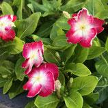 バラ咲き日々草ヴィーナスルージュ