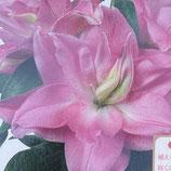 ローズリリー八重咲オリエンタル百合 エディッサ