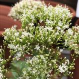 ユウギリ草 ホワイト